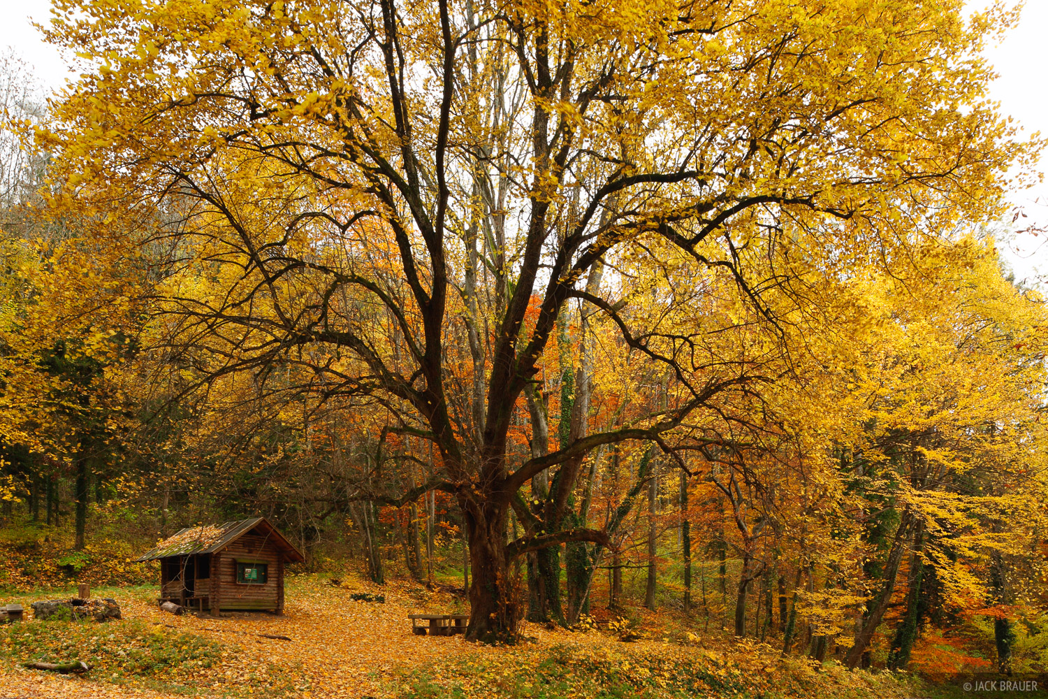A big yellow tree in the Black Forest above Freiburg, Germany.