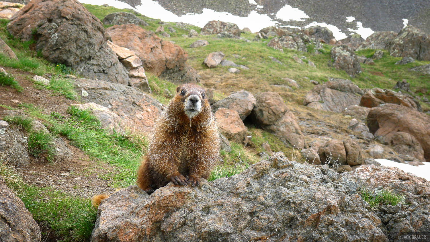 marmot, Uncompahgre Wilderness, Colorado, photo