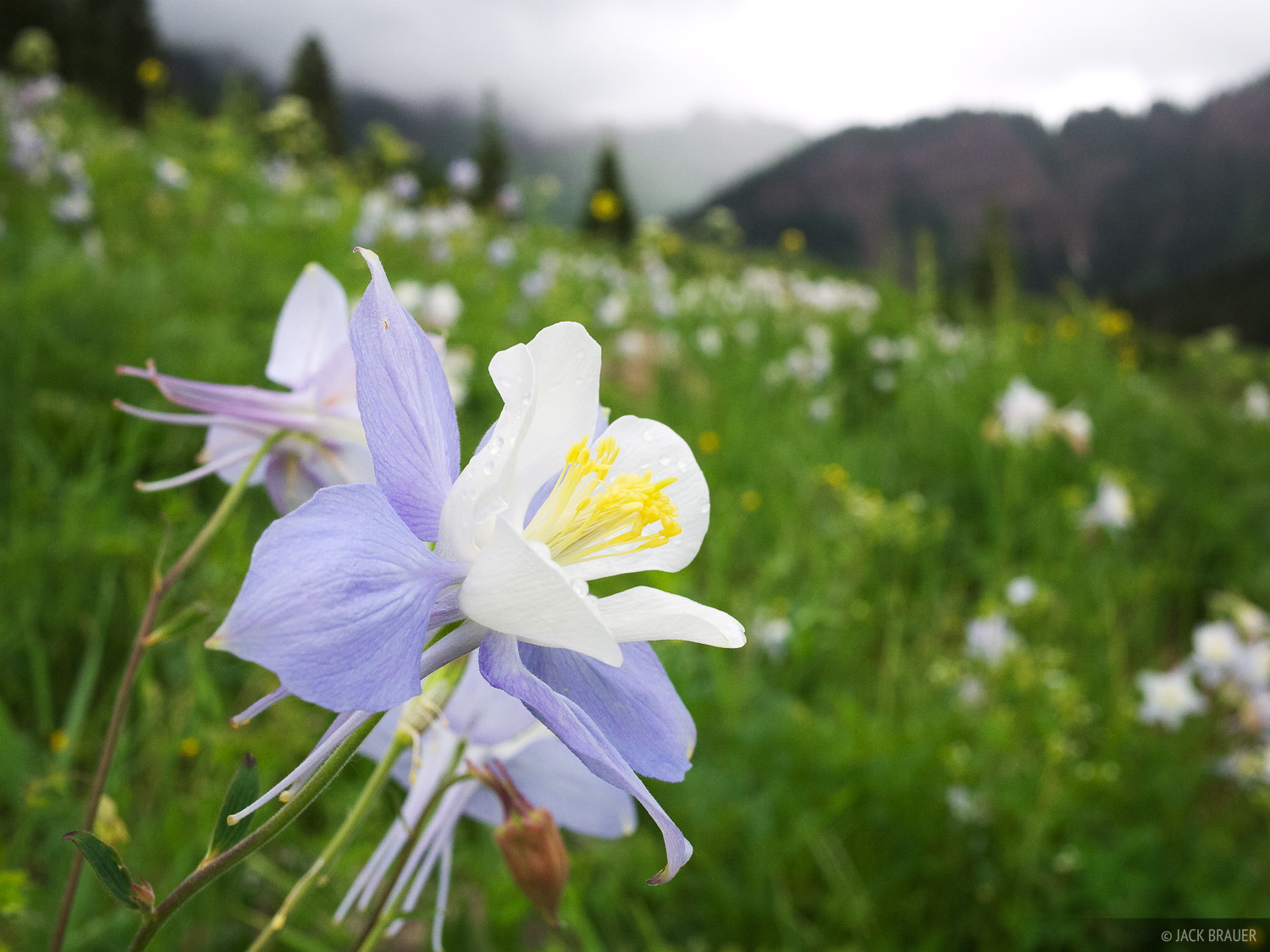 Columbine, Elk Mountains, Colorado, Maroon Bells-Snowmass Wilderness, photo