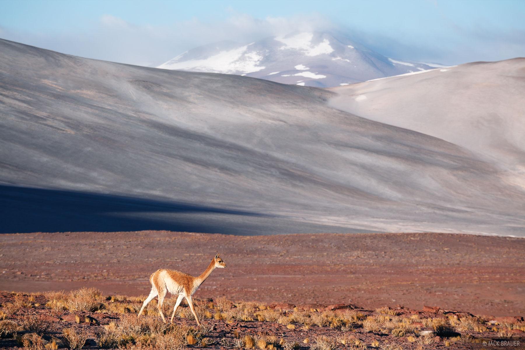 Atacama,Chile,South America, vicuña, vicuna, Salar de Aguas Calientes, photo