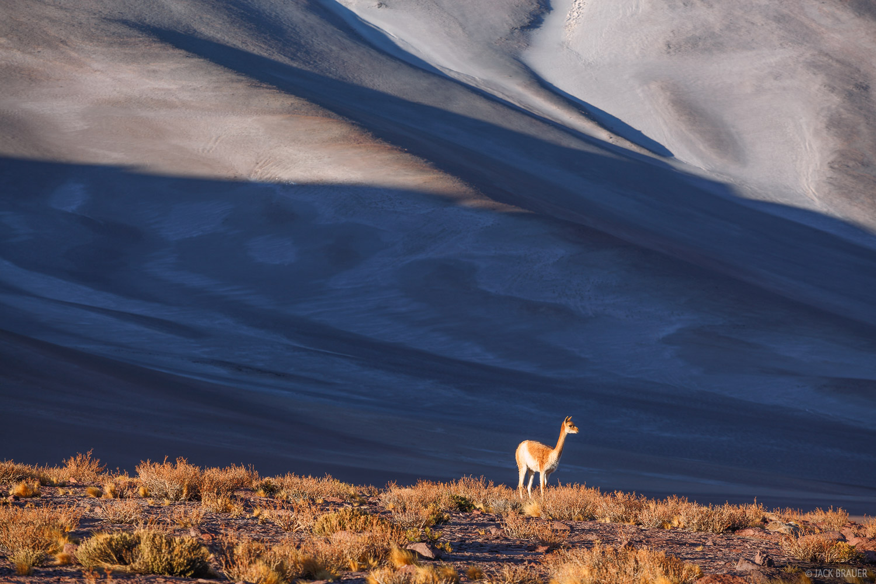 A lone vicuña stands in the surreal landscape of Salar de Aguas Calientes.