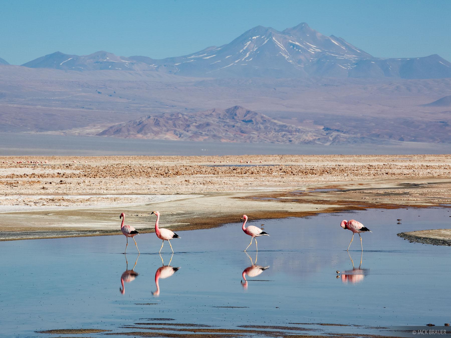 Flamingos at Laguna Chaxa in the Salar de Atacama giant salt flat near San Pedro de Atacama.