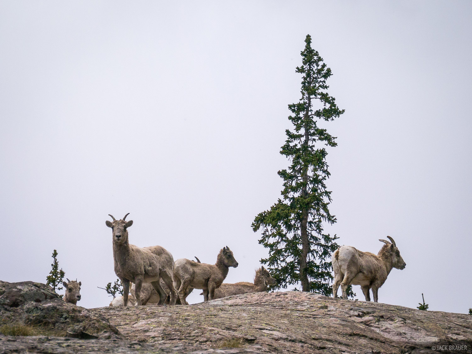 Colorado, Sangre de Cristos, bighorn sheep, photo