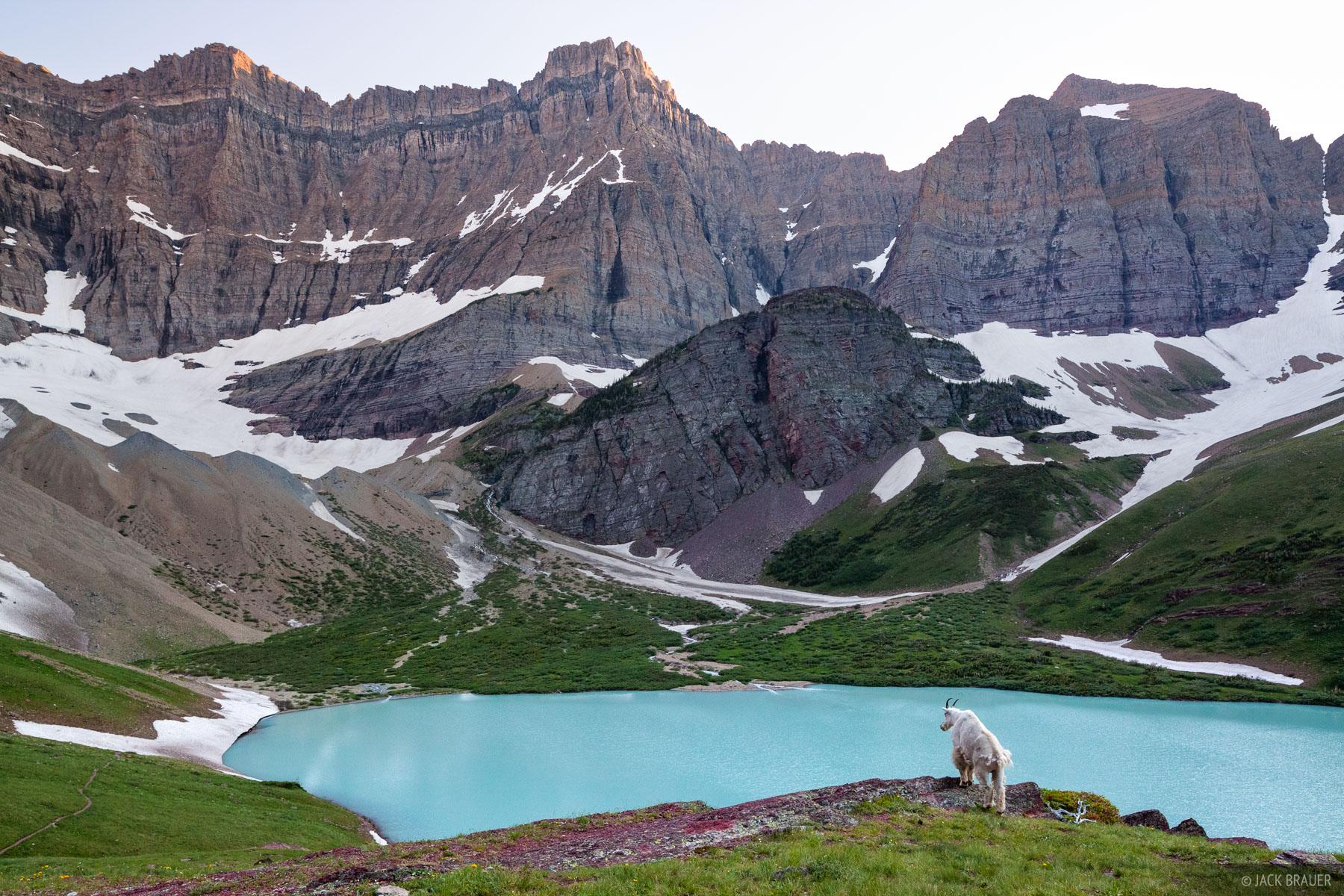A resident mountain goat surveys the scene at Cracker Lake.