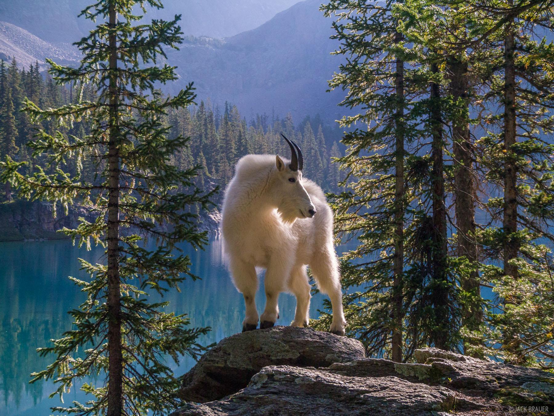 Mountain goat, Weminuche Wilderness, San Juan Mountains, Colorado, photo