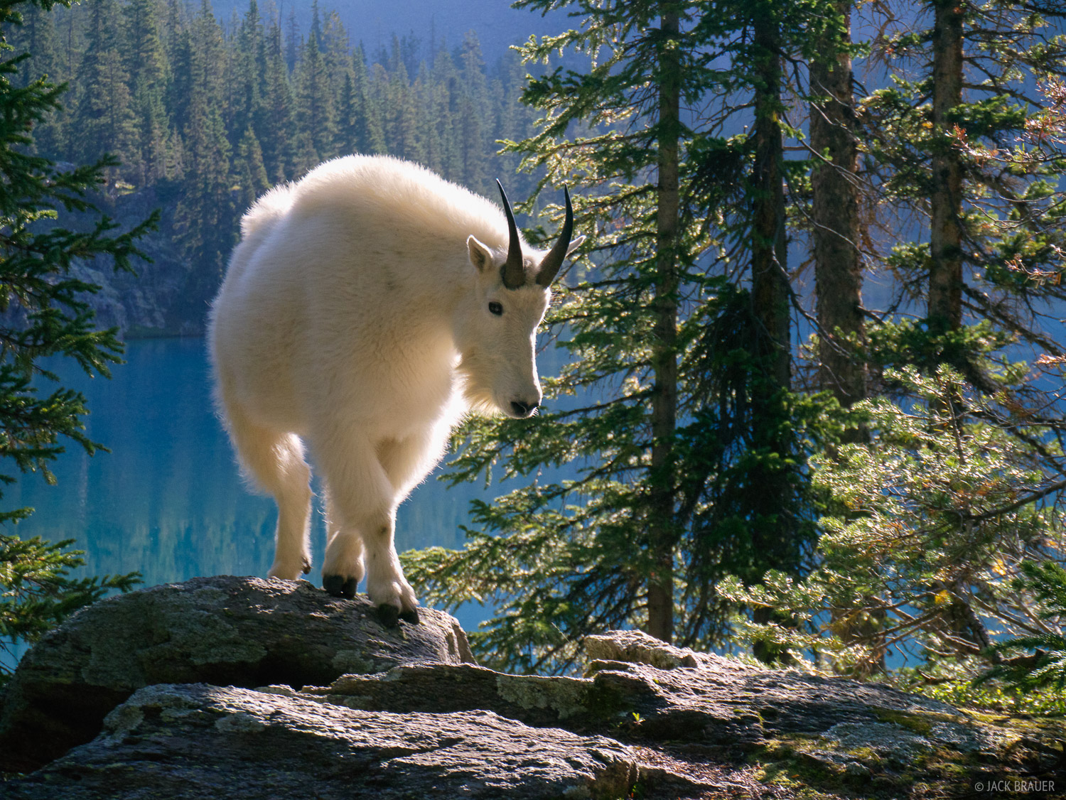 Mountain goat, Weminuche Wilderness, San Juan Mountains, Colorado, photo