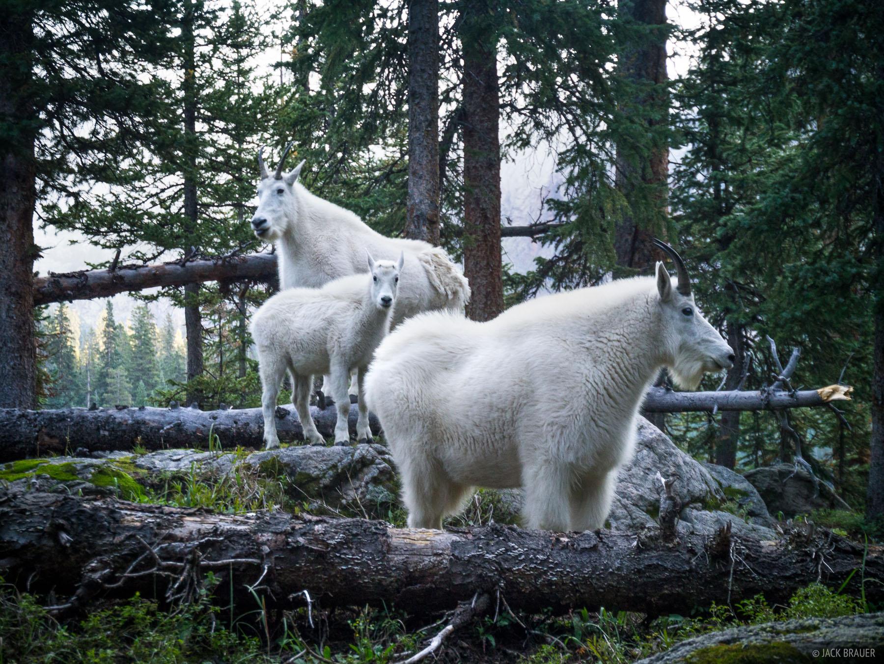 Mountain goats, Weminuche Wilderness, San Juan Mountains, Colorado, photo