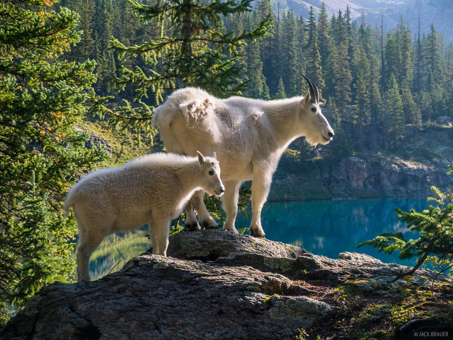 Mountain goat mom and kid in the Weminuche Wilderness.
