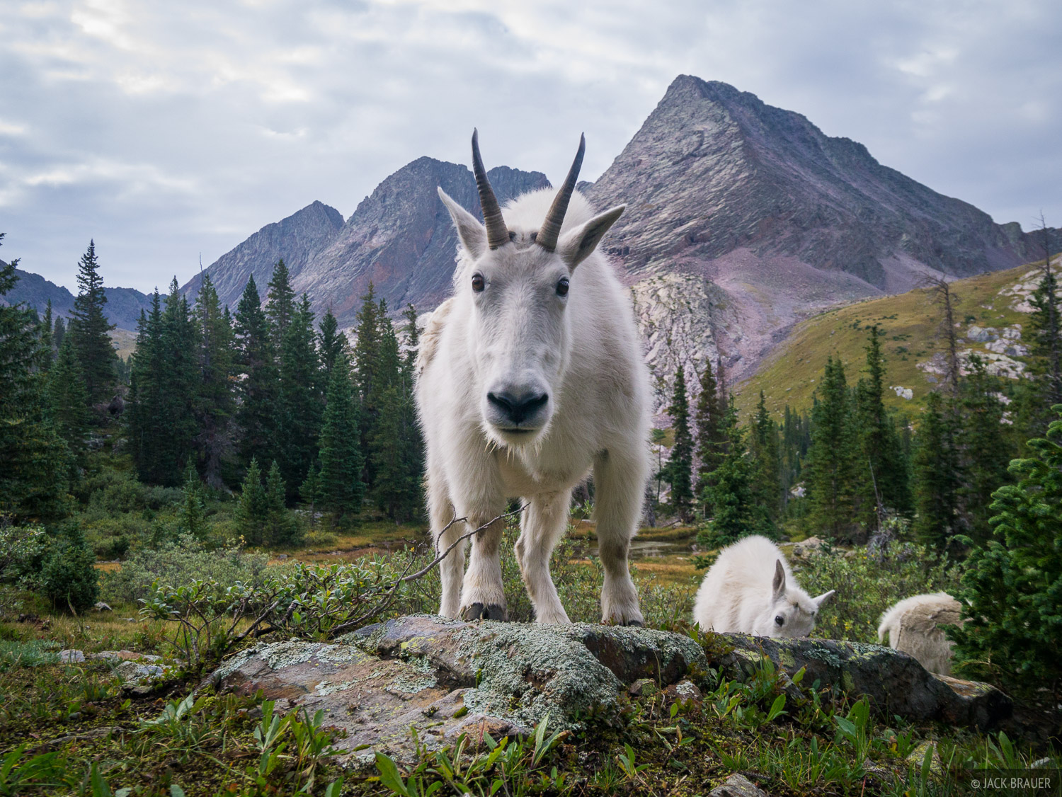 Mountain goat, Weminuche Wilderness, San Juan Mountains, Colorado, grenadier range, photo
