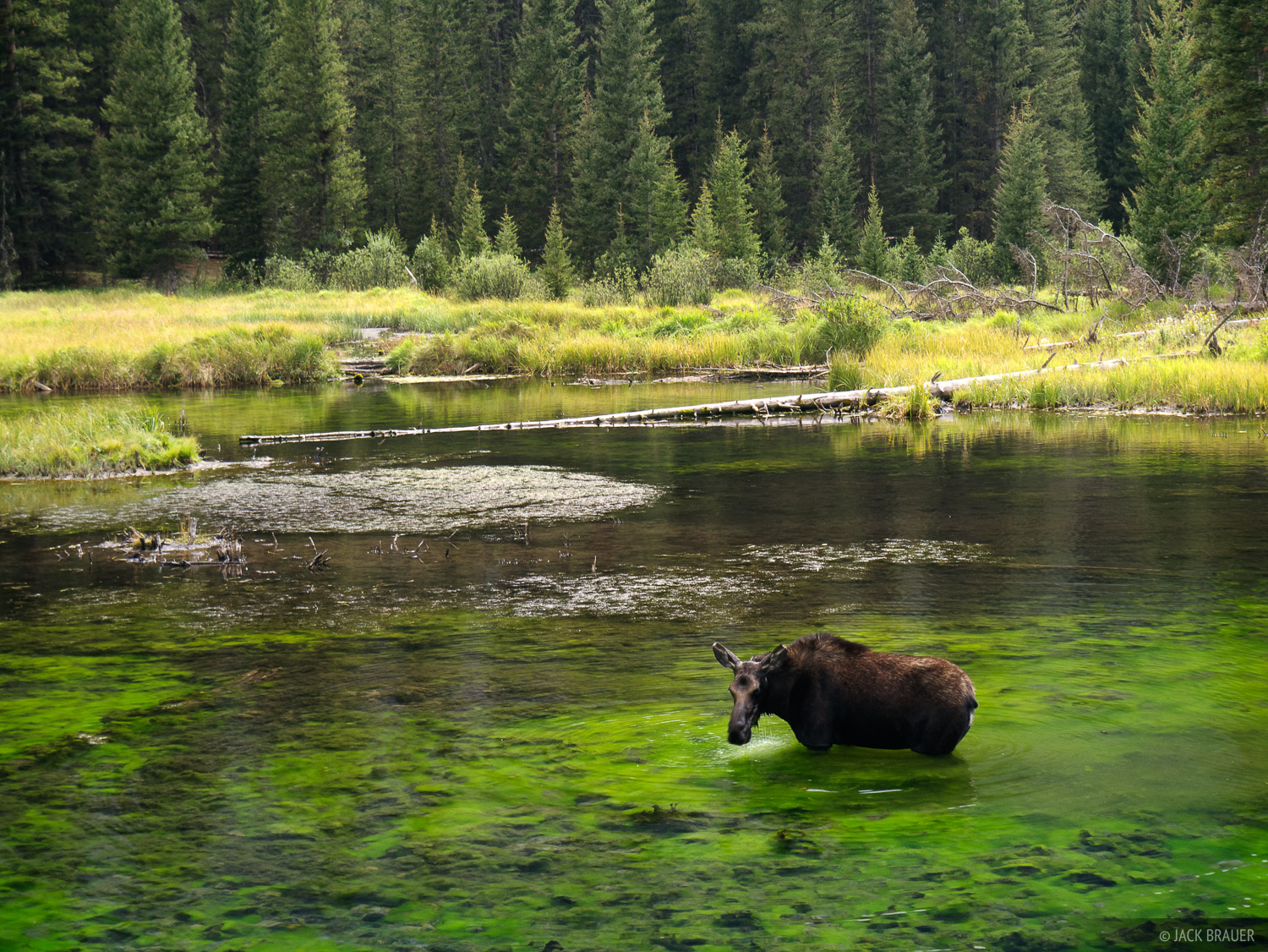A moose wading in the beaver ponds of Elk Creek in the Weminuche Wilderness, eating the green algae in the water.