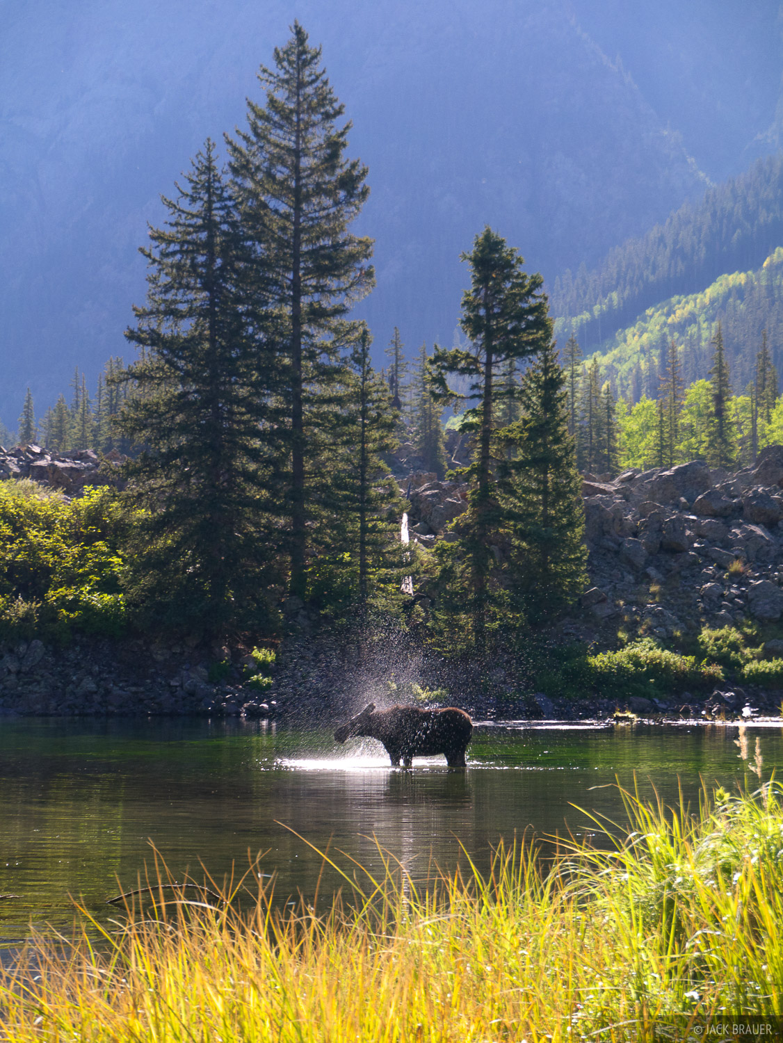 moose, San Juan Mountains, Colorado, photo