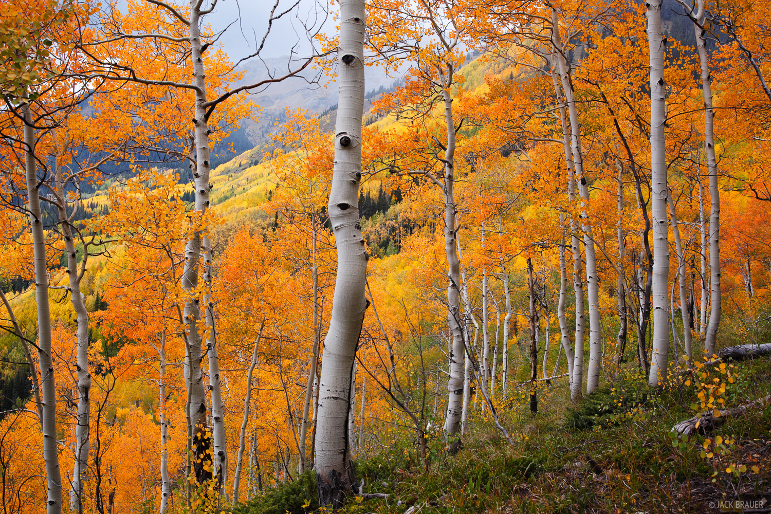 Aspens, Red Mountain Pass, San Juan Mountains, Colorado, September, photo
