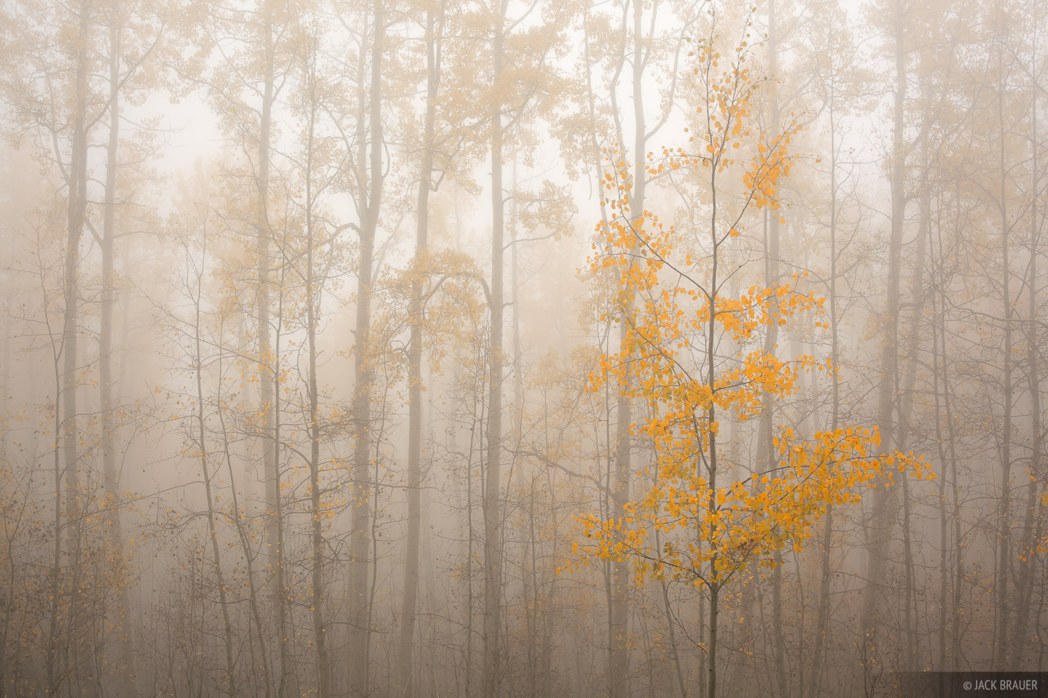 Aspens, fog, San Juan Mountains, Colorado, september, photo