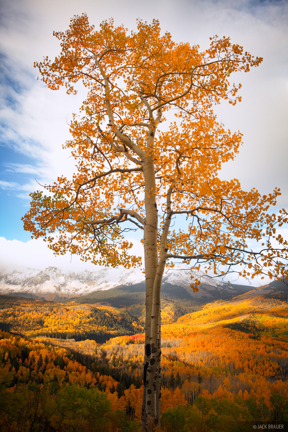An aspen with a view of many more aspens.