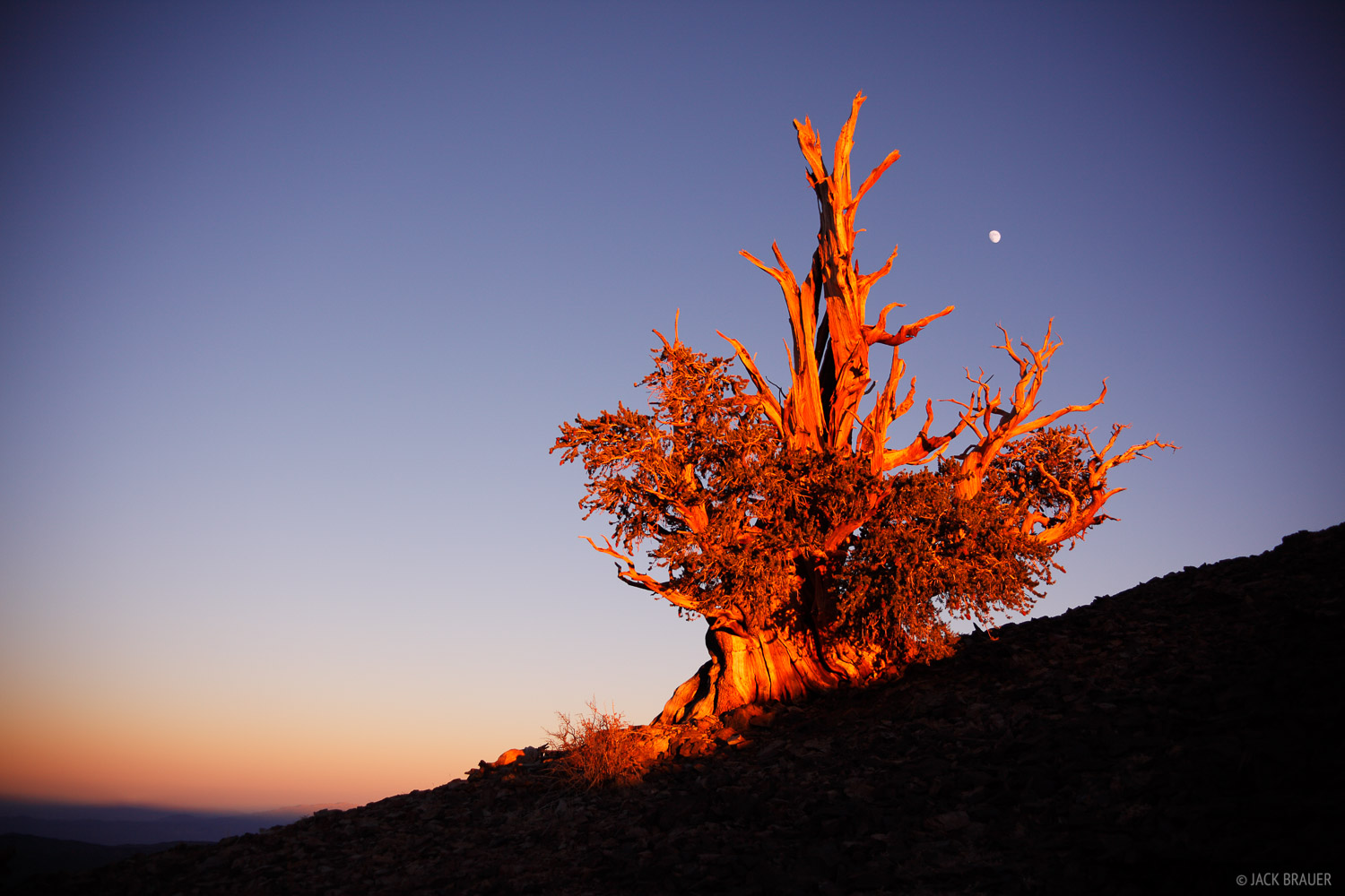 Bristlecone, Pine, White Mountains, California, photo