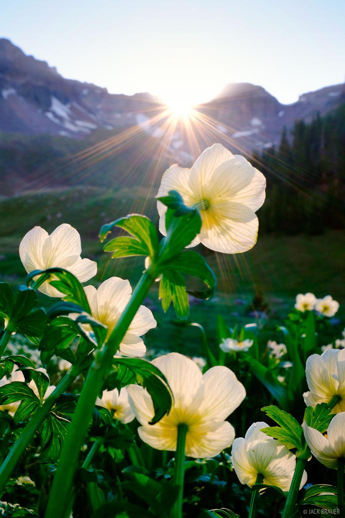 wildflowers, spreading globeflower, San Juan Mountains, Colorado, June, photo