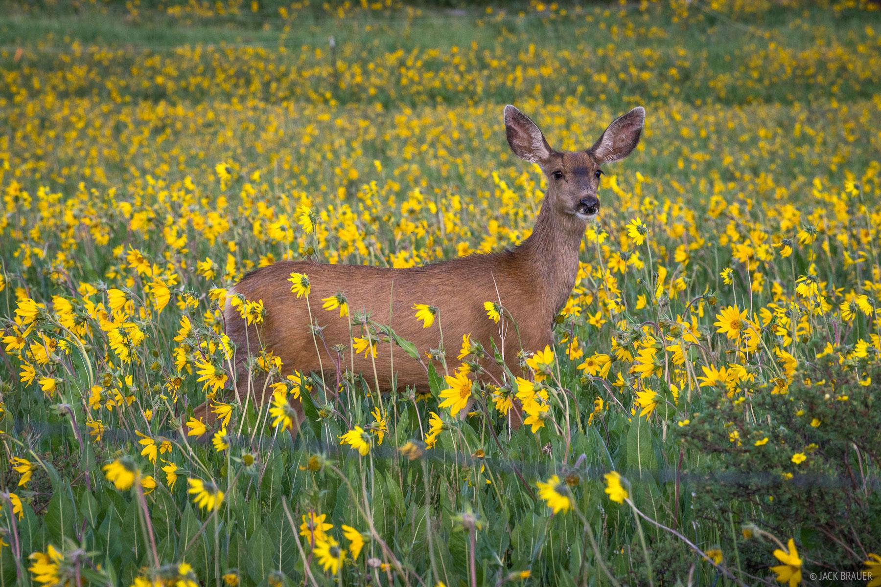 A deer wanders through wildflowers.