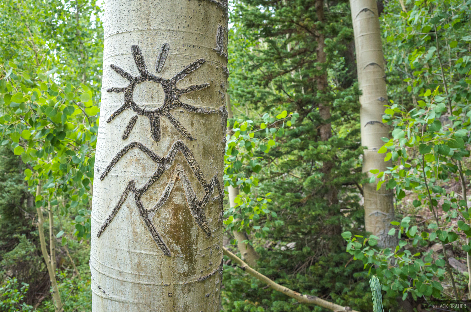 Artistic carving on an aspen tree.