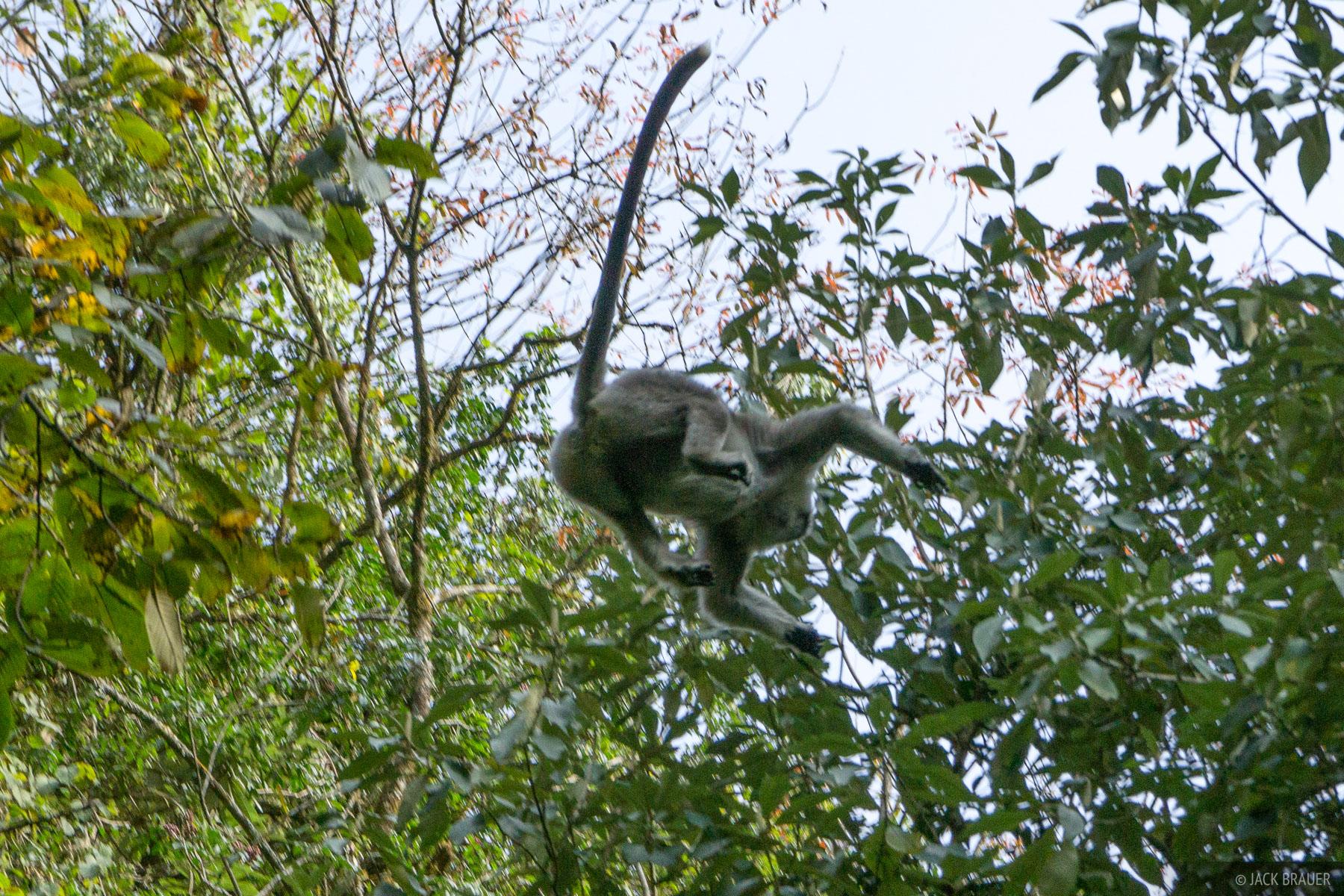 A monkey flies through the forest below Annapurna.
