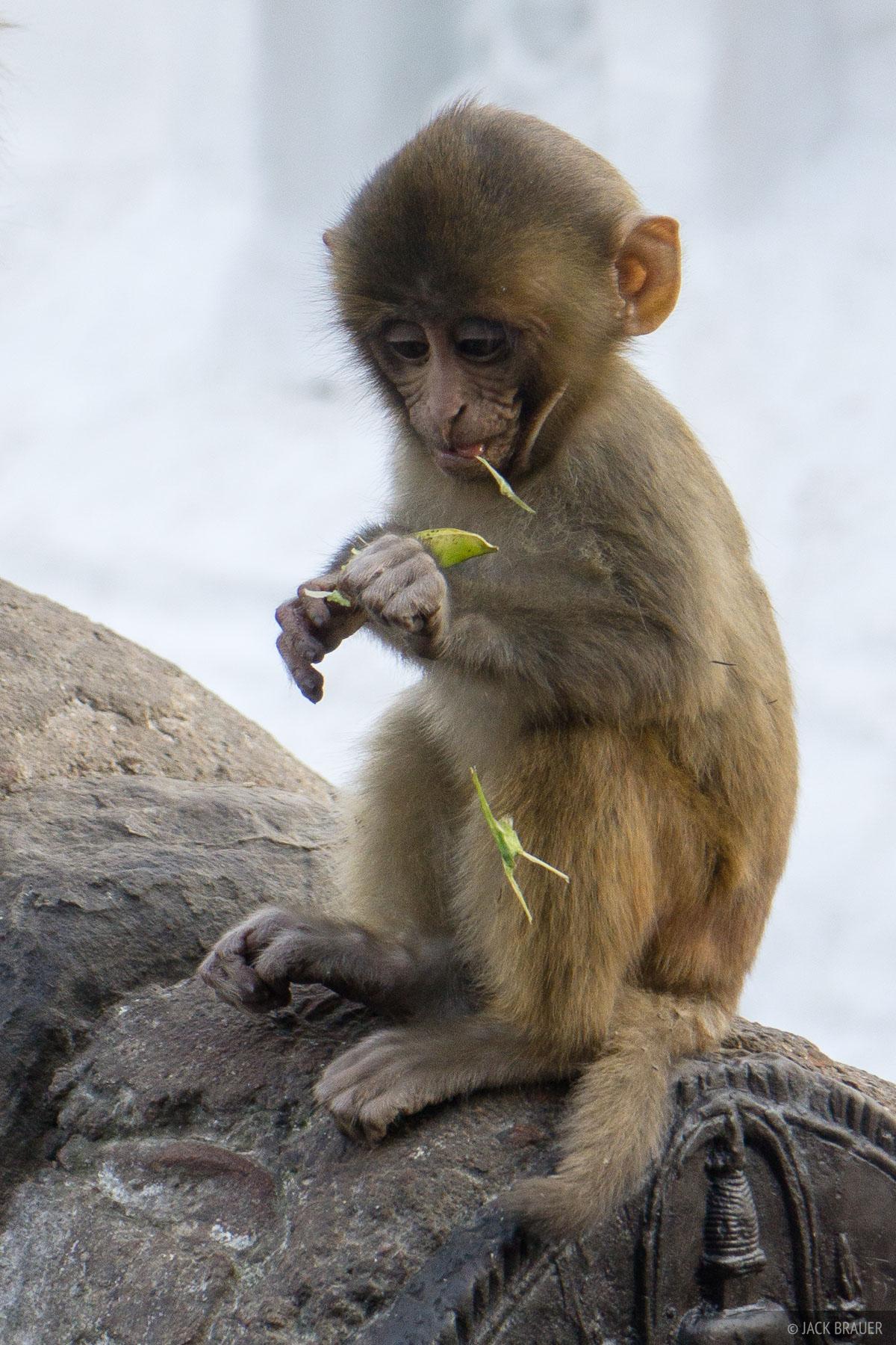 Asia, Kathmandu, Nepal, Swayambhunath, monkey, November, wildlife, monkies, 2014