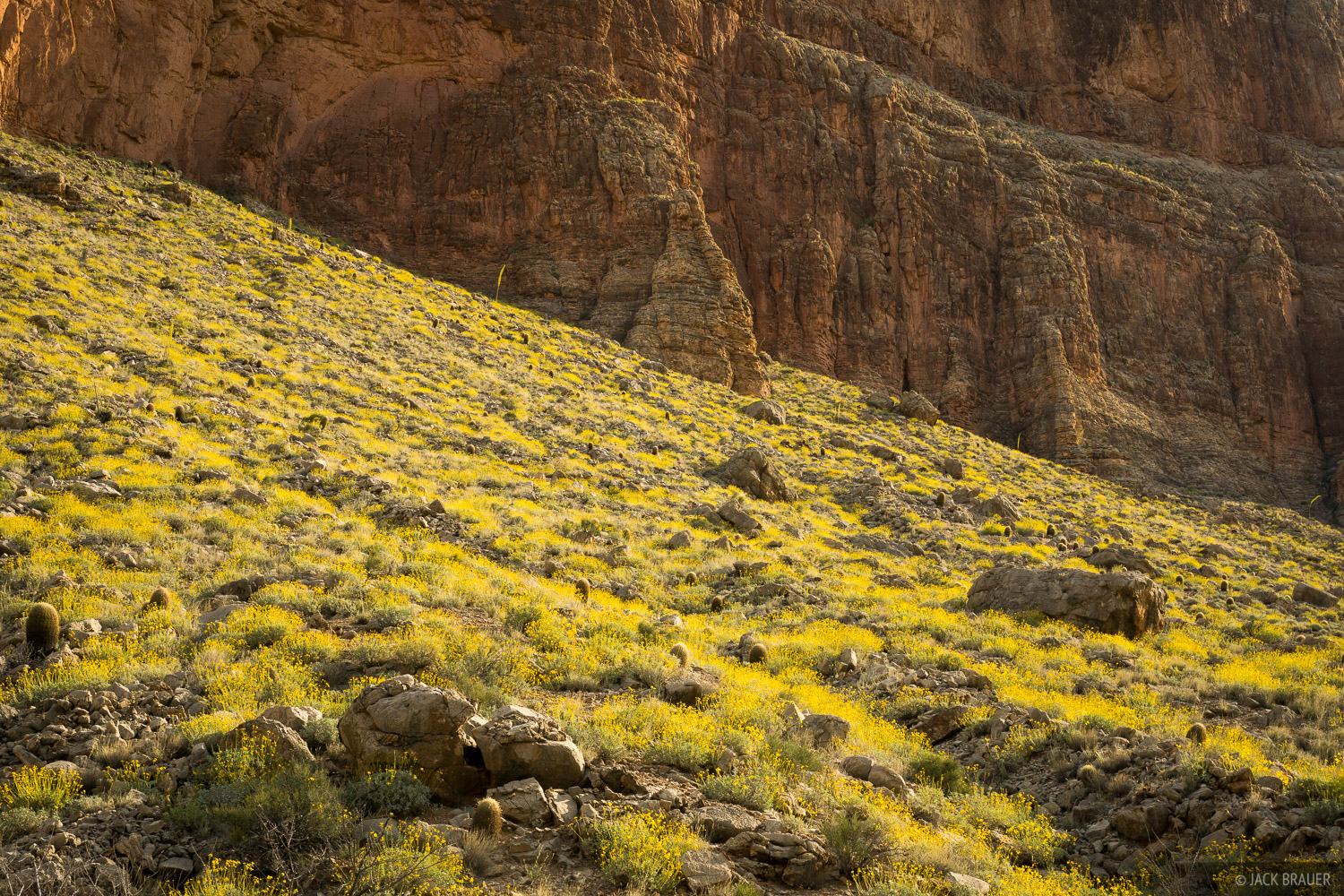 A canyon slope full of yellow wildflowers in April.