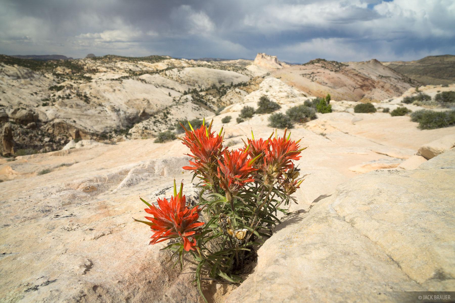 Utah,Yellow Rock, Cockscomb, paintbrush, wildflowers, photo
