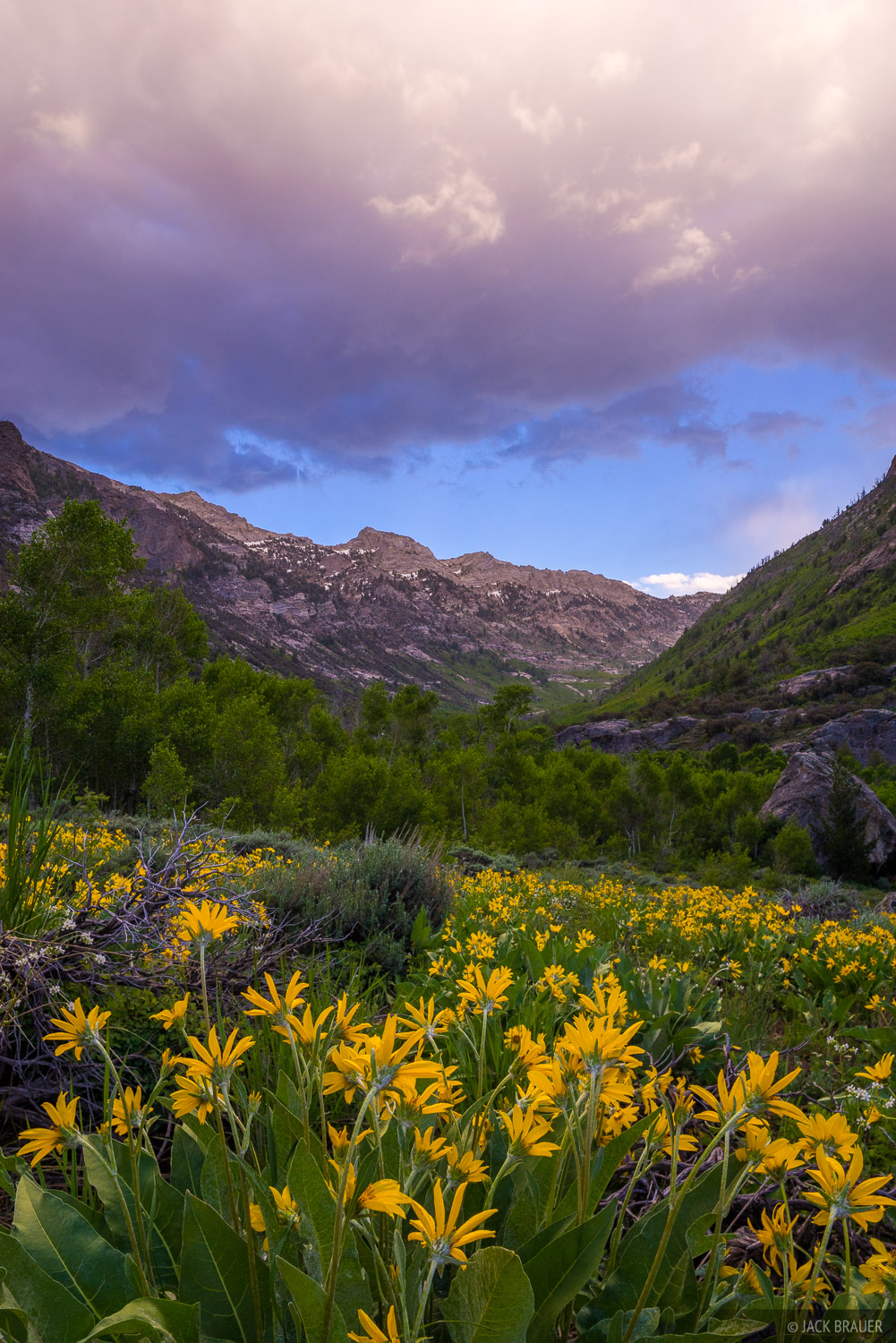 Early summer flowers in Lamoille Canyon, Ruby Mountains, Nevada.