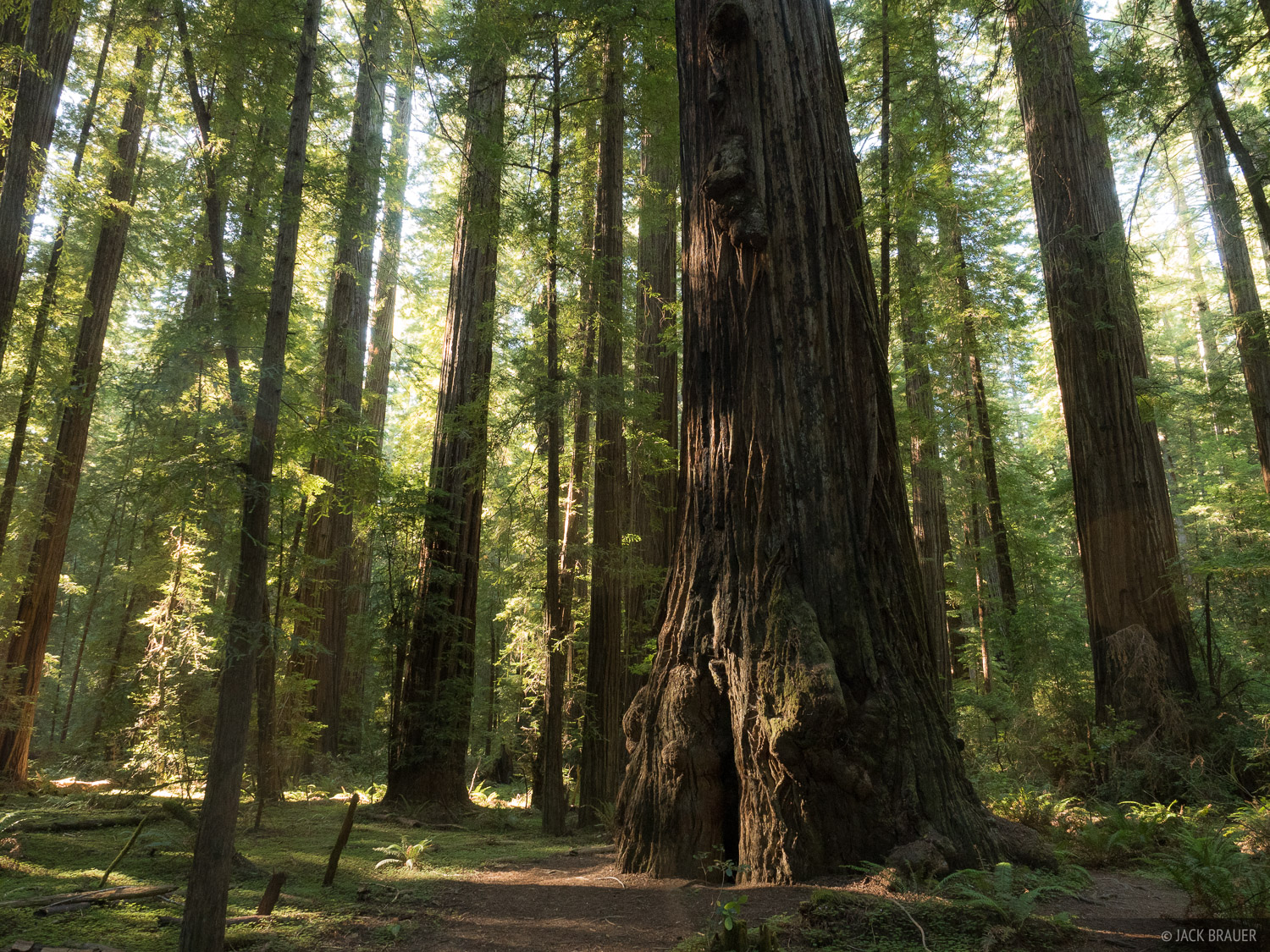 California, Humboldt Redwoods State Park, Rockefeller Grove, redwoods, photo