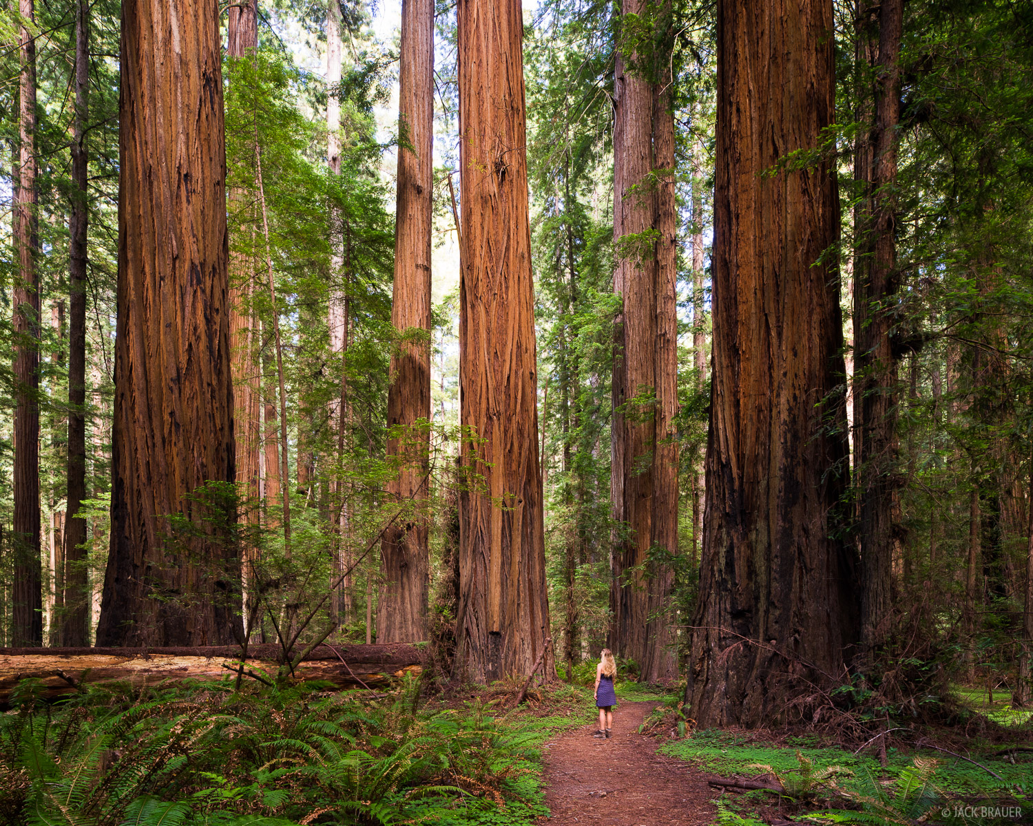 California, Founders Grove, Humboldt Redwoods State Park, redwoods, photo