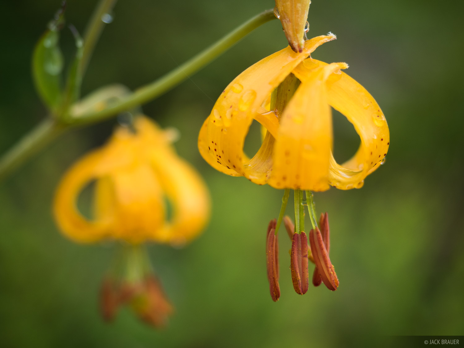 Olympic Peninsula, Sol Duc, Washington, wildflowers, Olympic National Park, Tiger Lily, photo