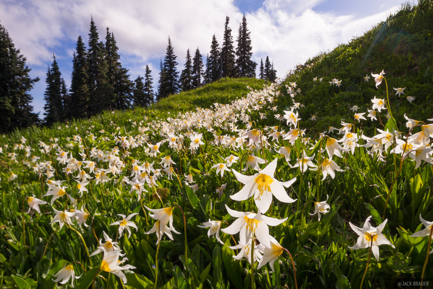 Olympic Peninsula, Sol Duc, Washington, wildflowers, Olympic National Park, avalanche lilies, photo
