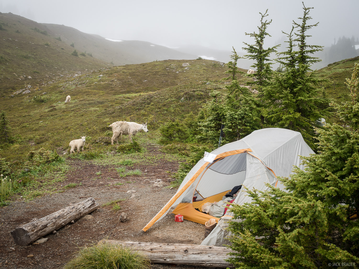 Mountain goats checking out or tent during our second (rainy) day at Heart Lake.