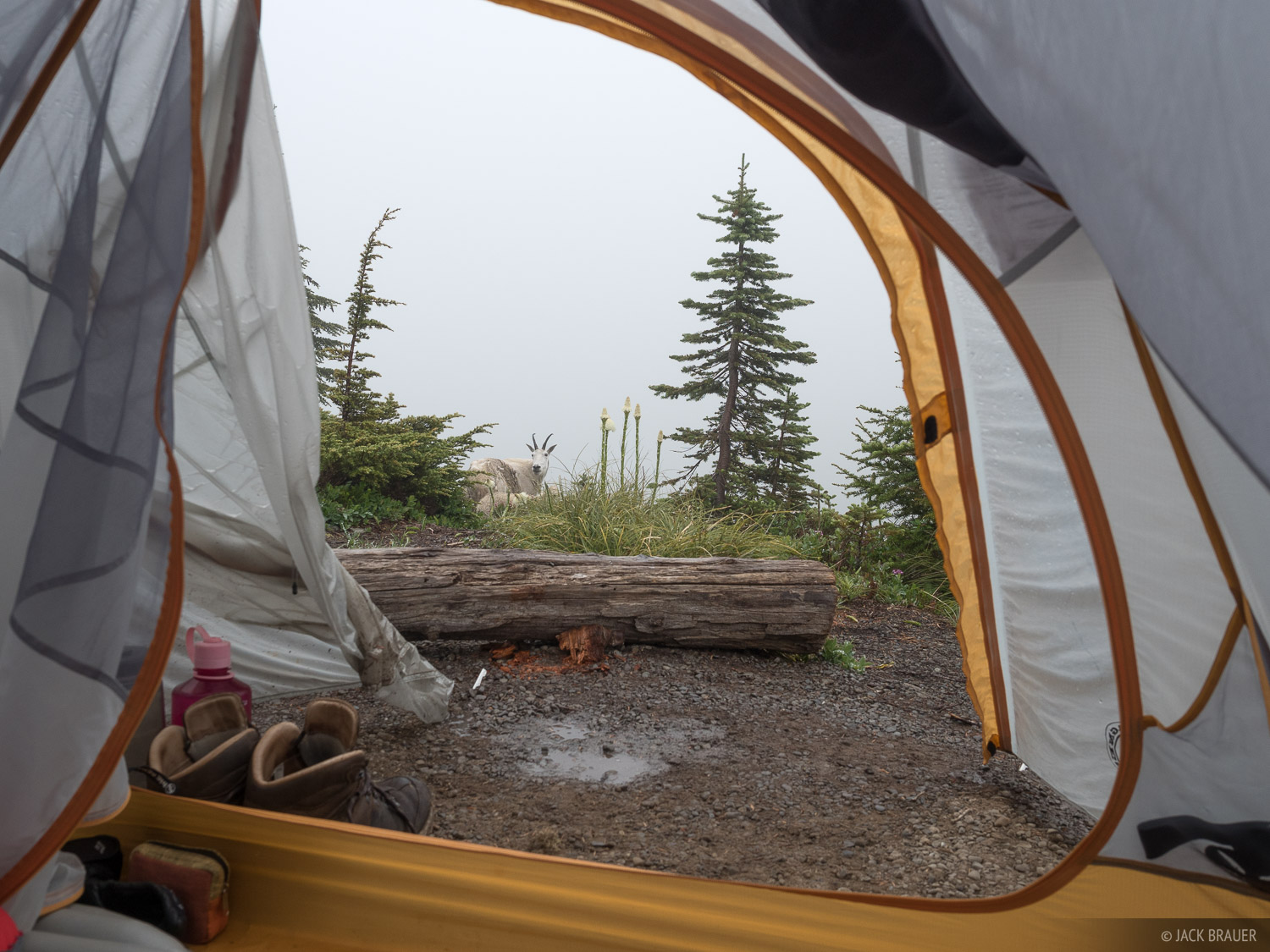 Olympic Peninsula, Sol Duc, Washington, mountain goat, tent, Olympic National Park