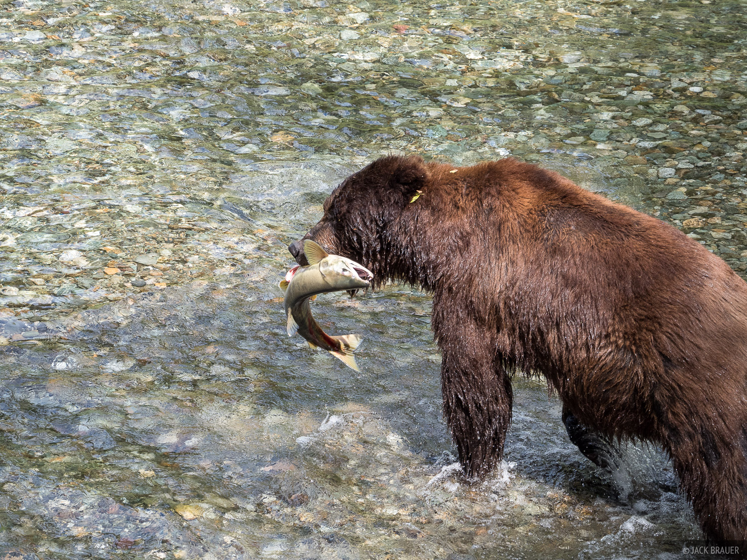 Alaska, Fish Creek, Grizzly, Hyder, bear