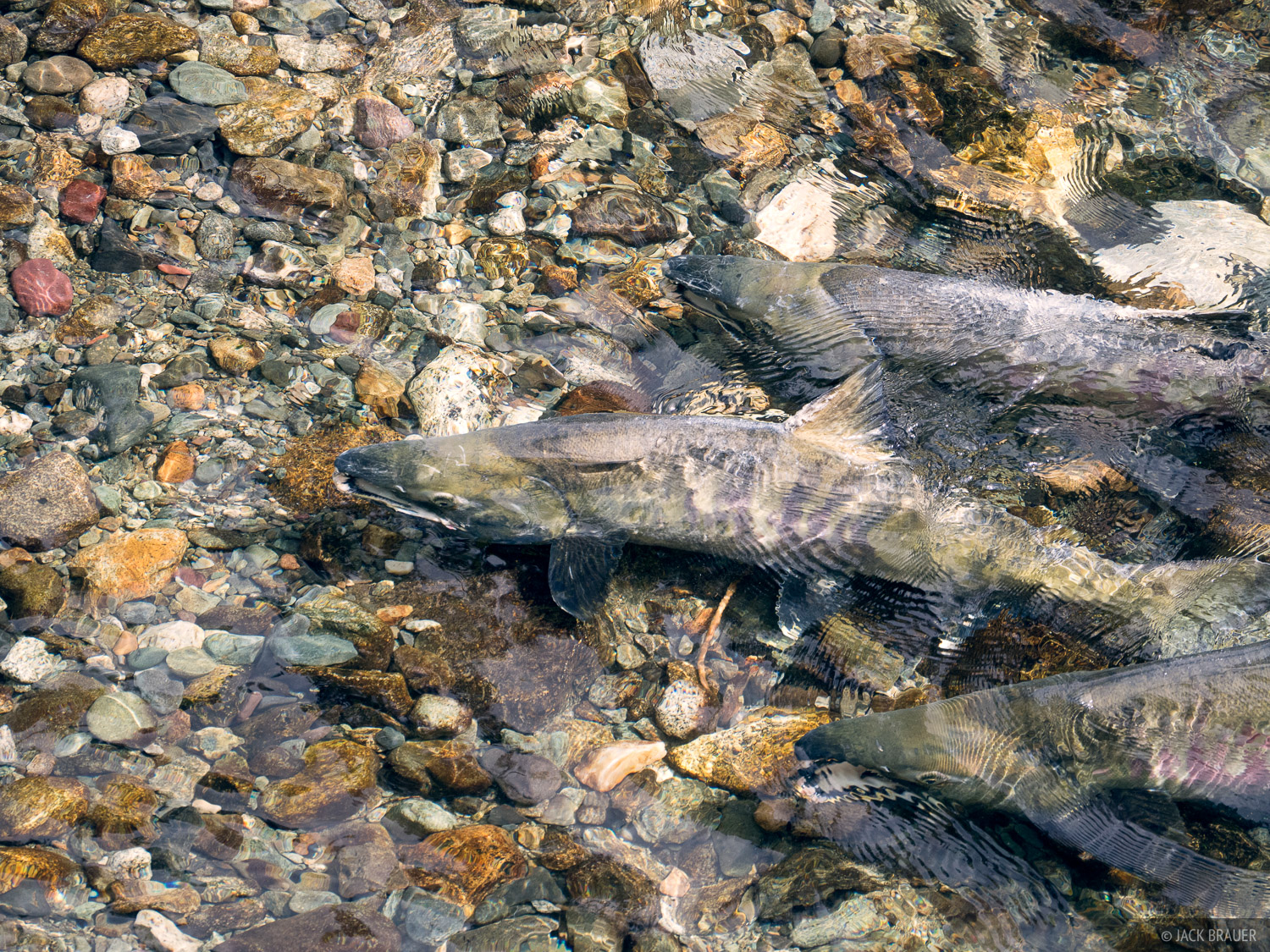 Alaska, Fish Creek, Hyder, salmon, photo