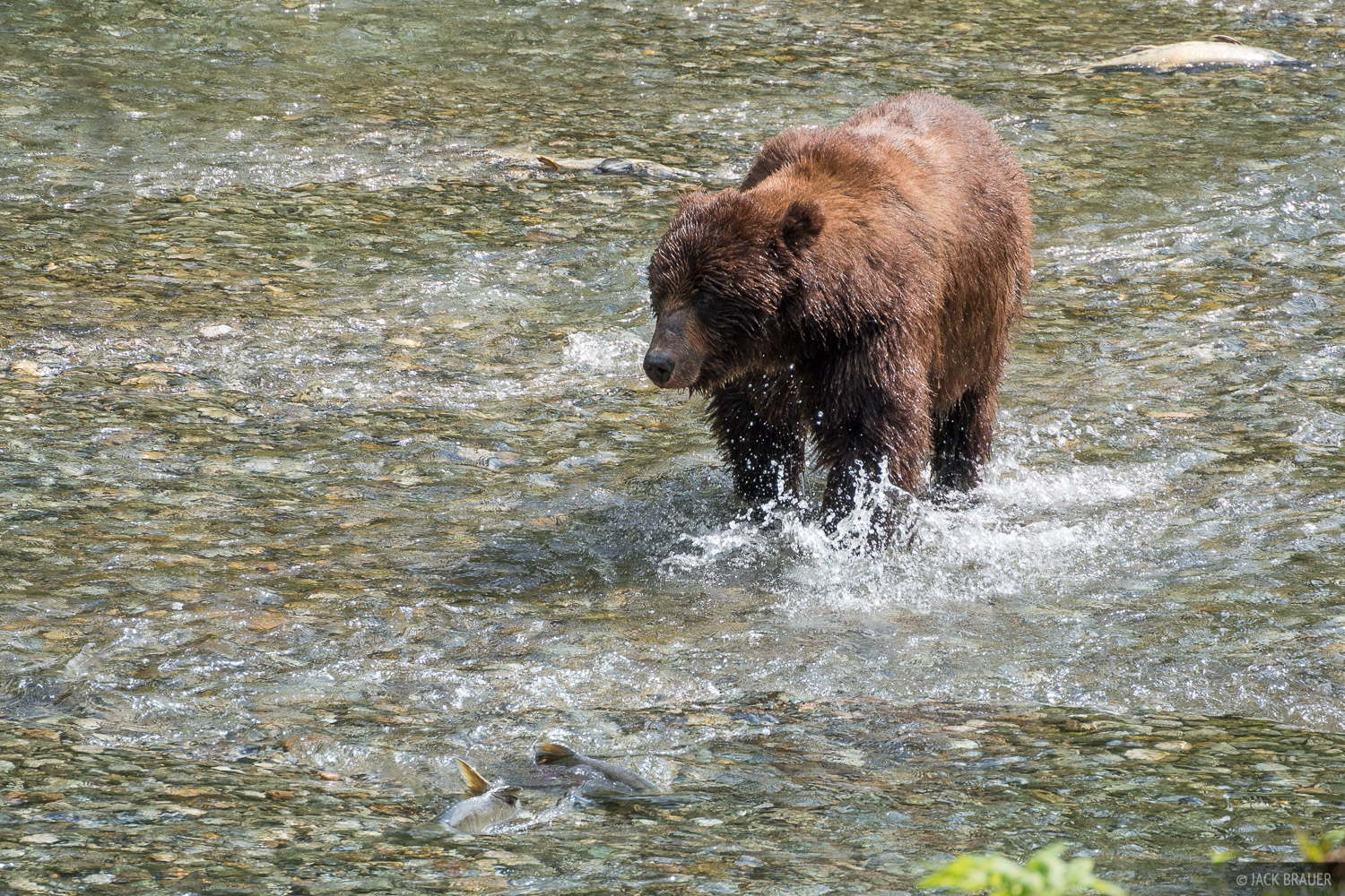 Grizzly bear hunting for salmon.
