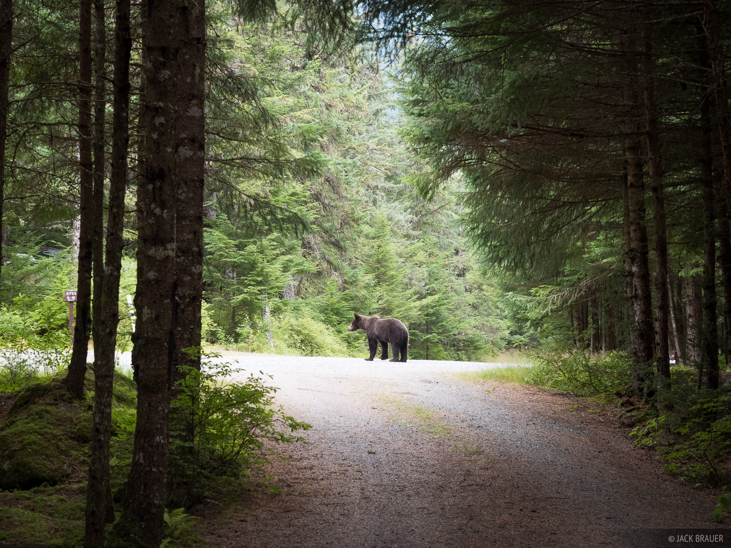 A glimpse of the grizzly bear that scared us out of our seats at our campsite above Chilkoot Lake.