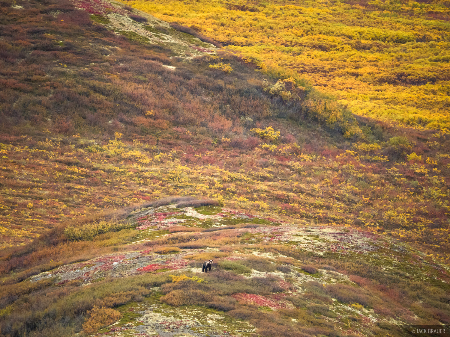 A grizzly bear wanders over the tundra eating berries in the North Klondike River valley - August.