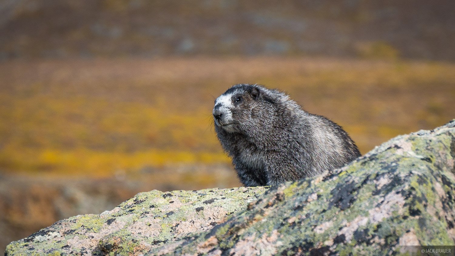 Local resident marmot of Tombstone Pass. We never did see any grizzlies on this trek, just marmots! That's ok with me.