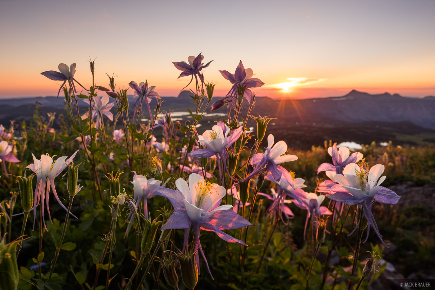 Colorado, Flat Tops, columbine, wildflowers, photo