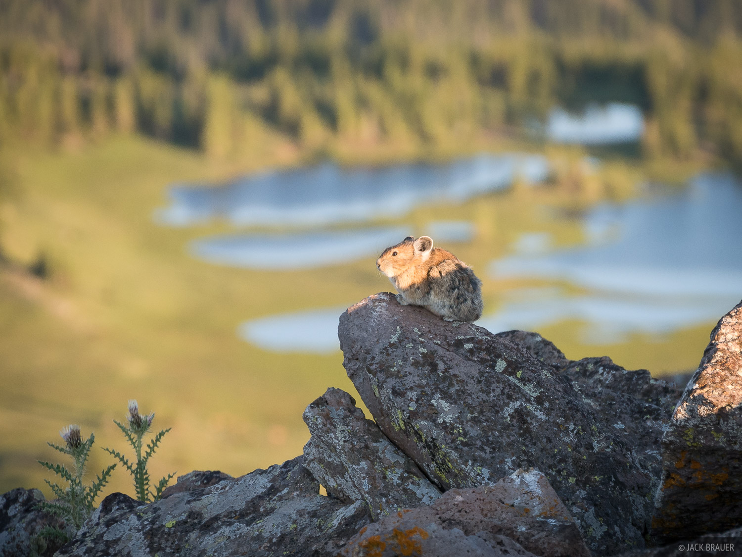 A pika soaks in the last light of the day near its hole at the summit of Trappers Peak.