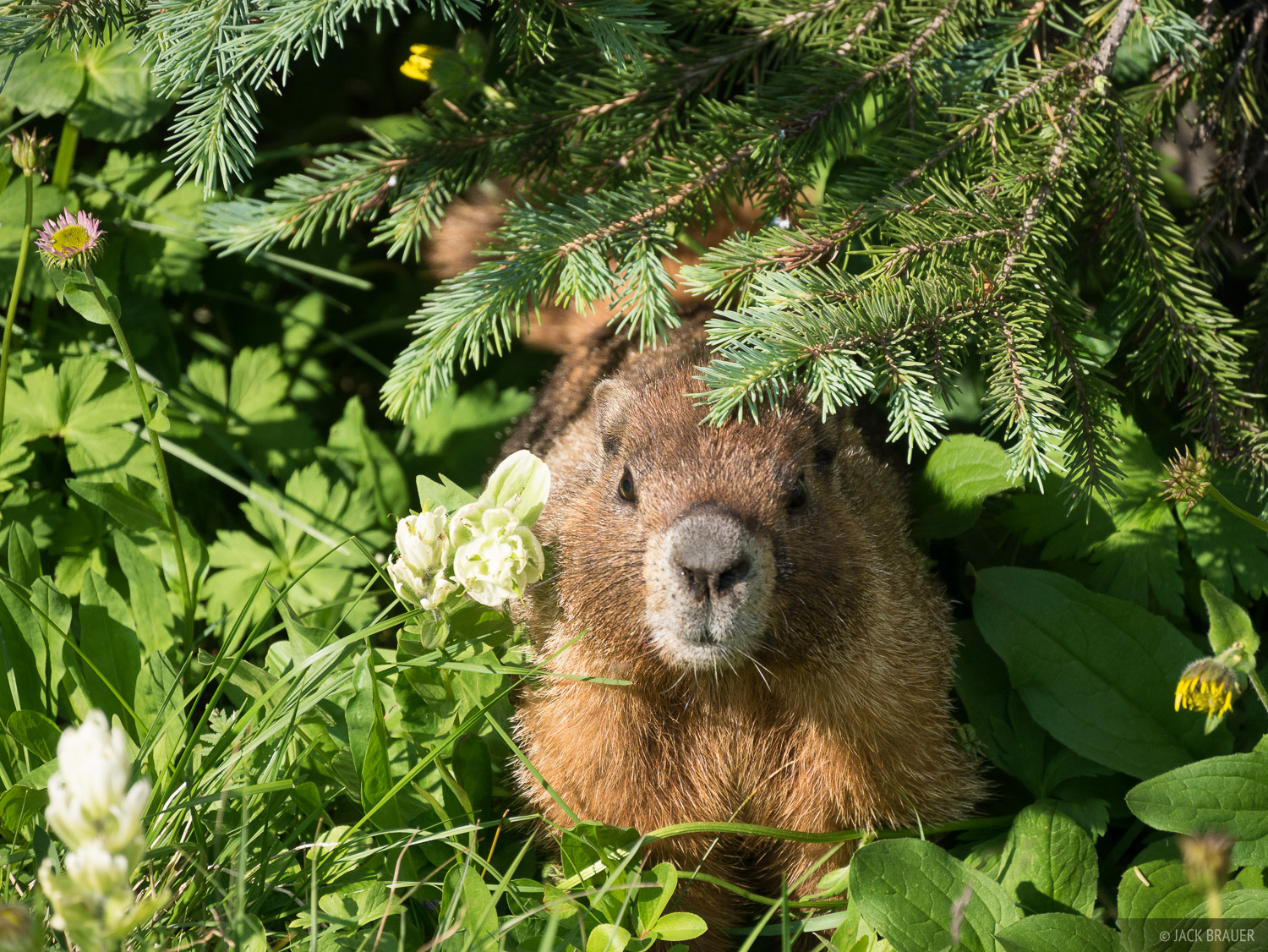 Peekaboo! A marmot peeks out from the flowers.