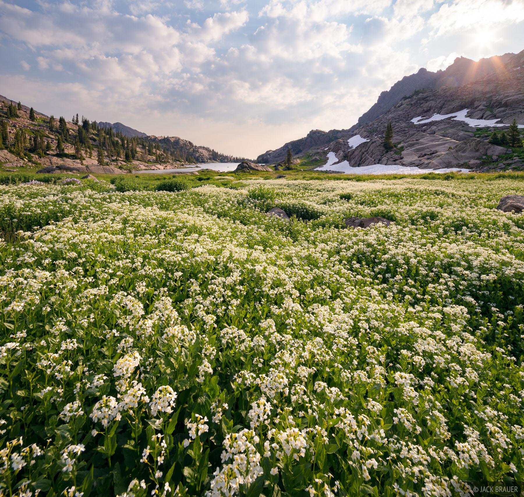 A huge field of Heartleaf Bittercress wildflowers high in the Eagles Nest Wilderness.