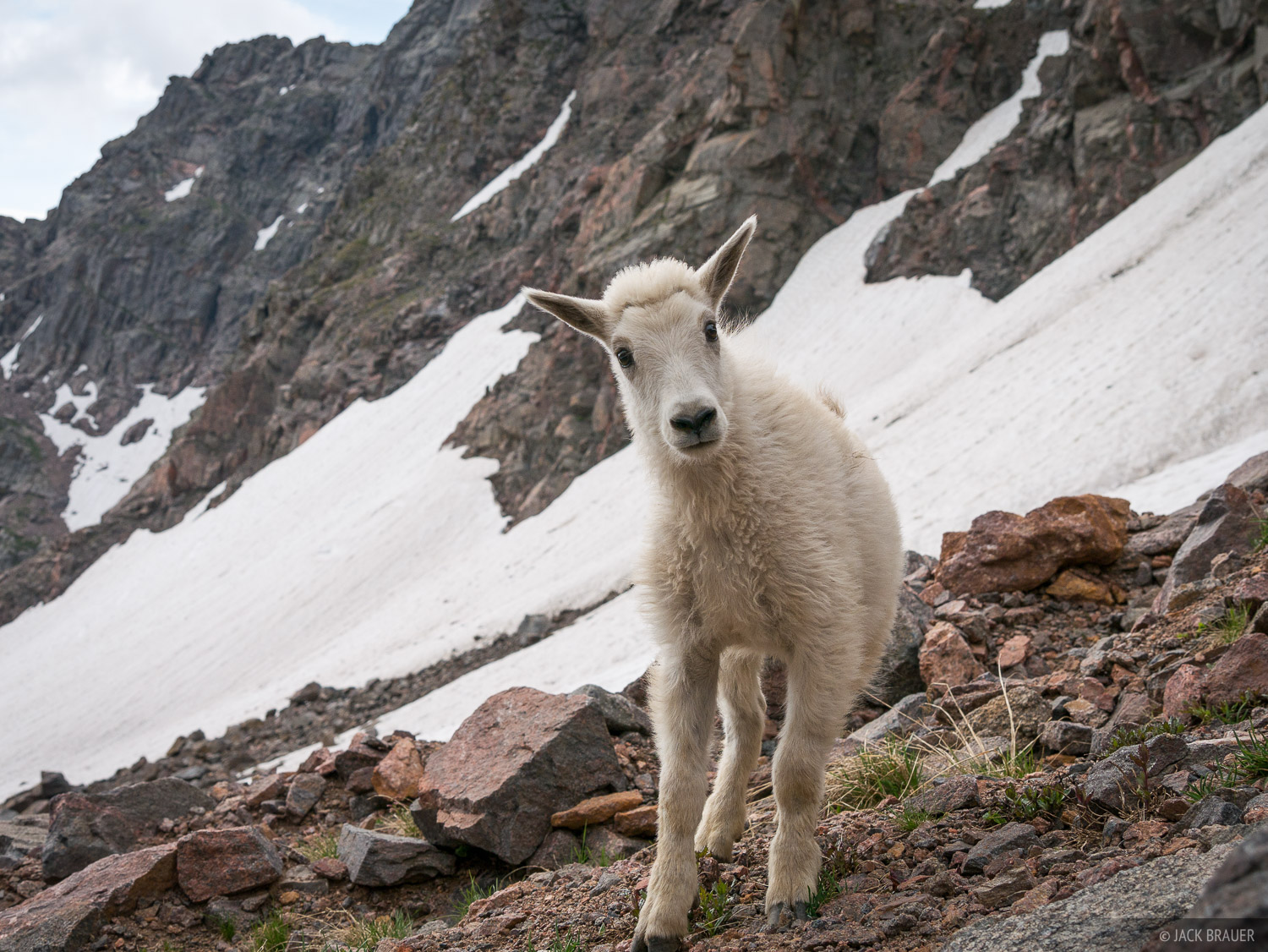 A curious mountain goat kid.