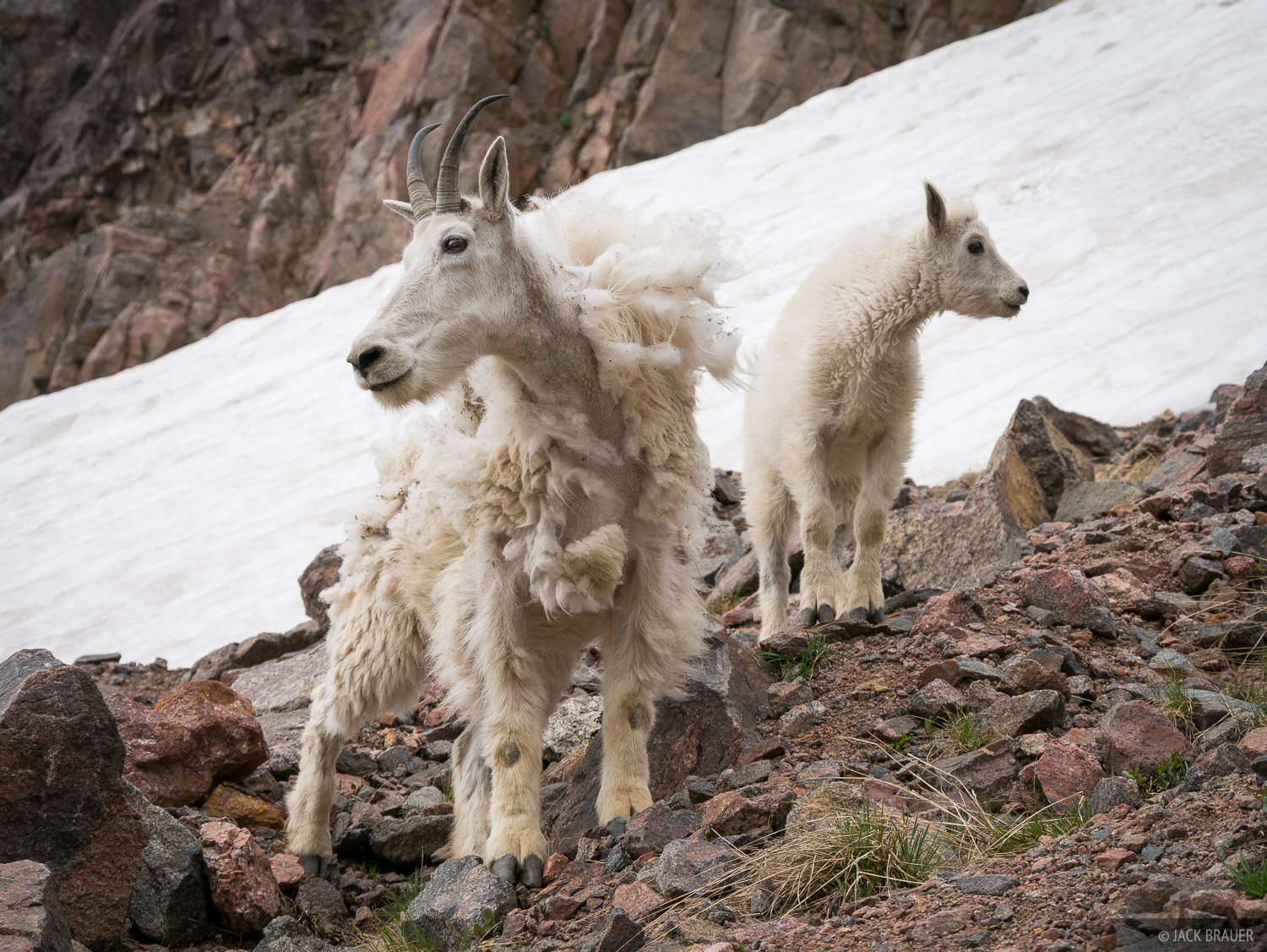 Colorado, Gore Range, mountain goat, Eagles Nest Wilderness, Kneeknocker Pass, photo