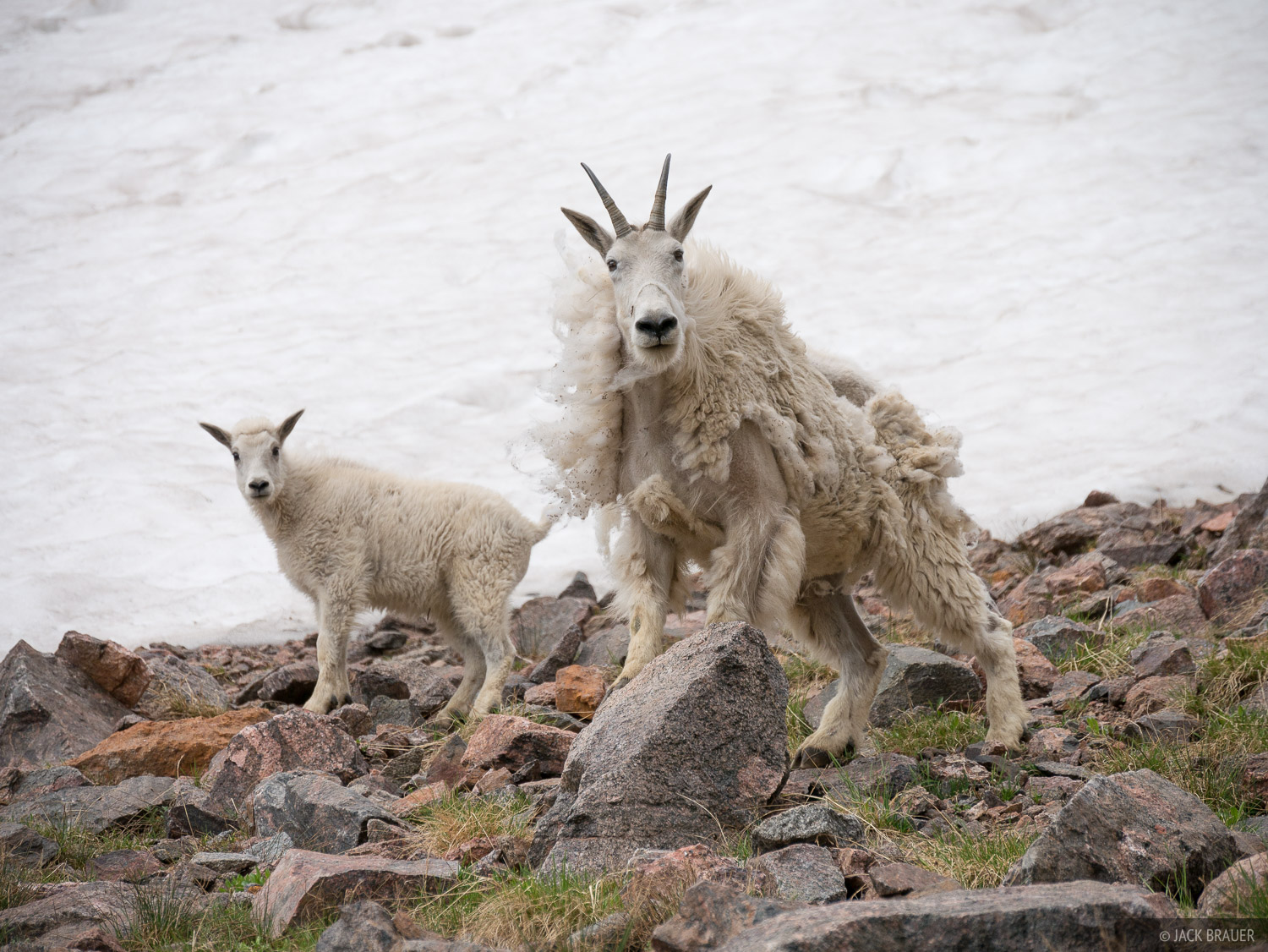 Colorado, Gore Range, mountain goat, Eagles Nest Wilderness, Kneeknocker Pass, photo