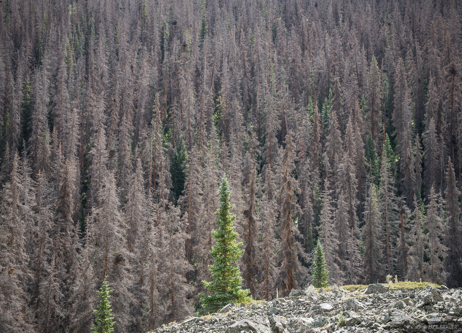 In the last decade the forests of the eastern San Juans have been devasted by pine beetle kill. Pine beetles burrow under the...
