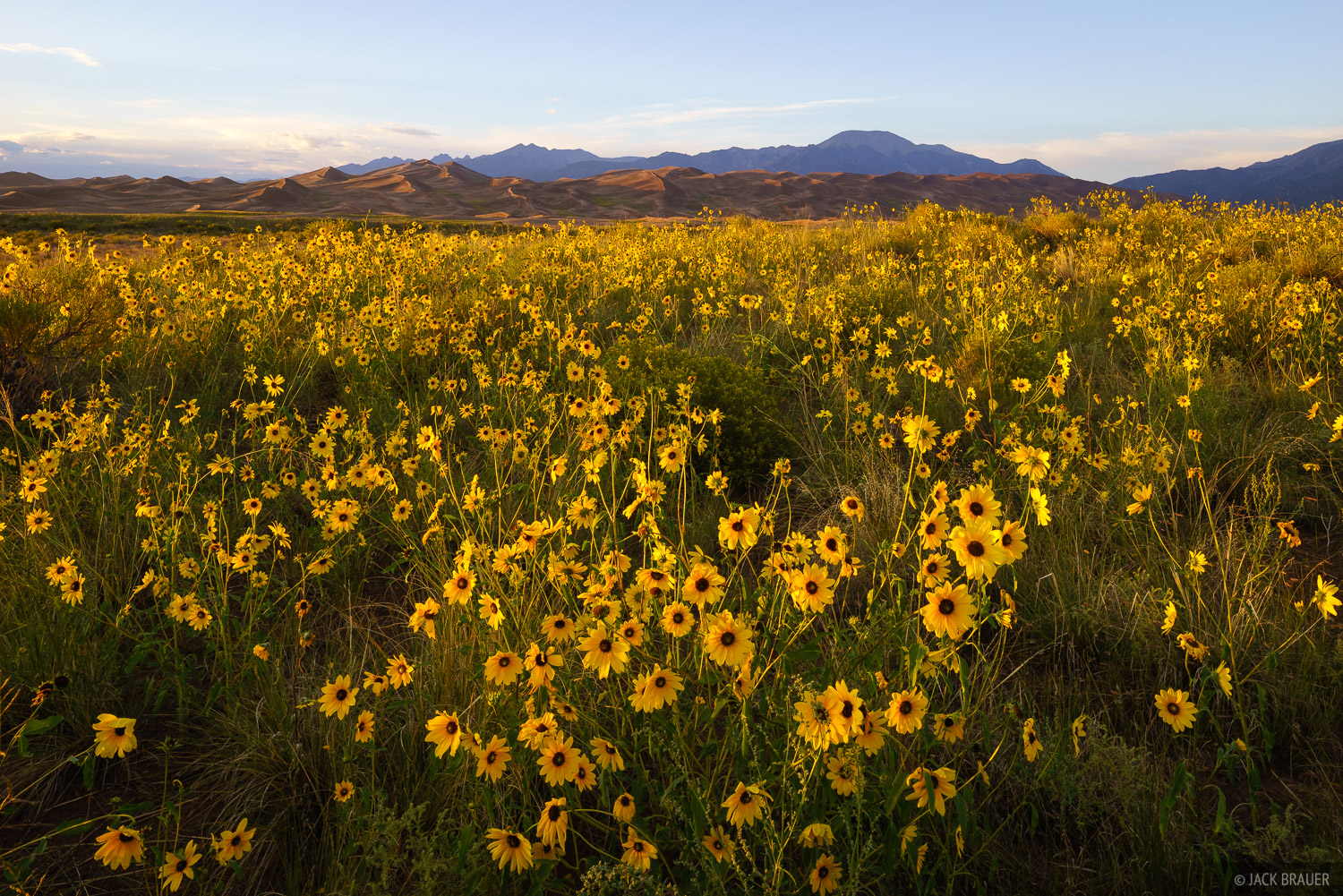 Praire sunflowers at sunset next to the Great Sand Dunes.