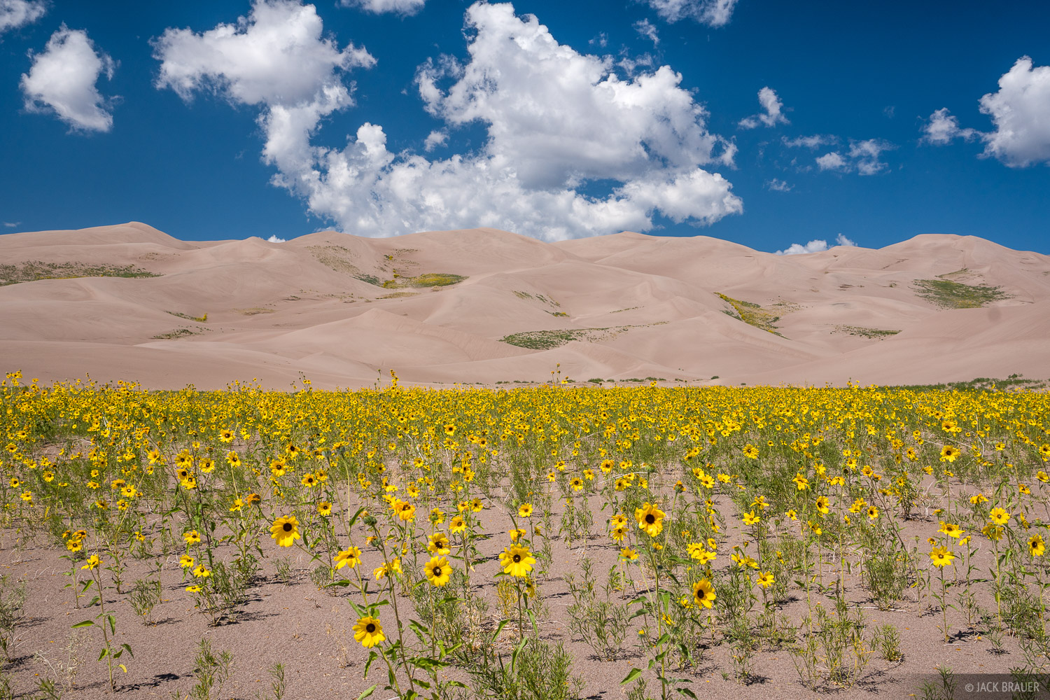 Praire sunflowers in the Great Sand Dunes.
