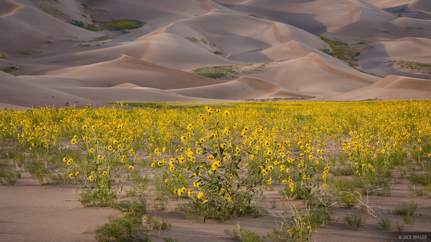Praire sunflowers at sunset in the Great Sand Dunes.